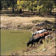 registered texas longhorn cattle drinking at gvrlonghorns water tank