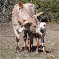 texas longhorn cow, longhorn cow, texas longhorn cattle for sale, gvrlonghorns, gvr longhorns