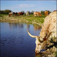 Texas longhorn cow drinking at gvrlonghorns