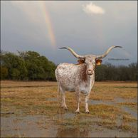 Texas longhorn cow, Blizzard, in the rain with a rainbow in the texas sky at gvrlonghorns