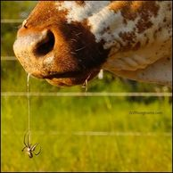 texas longhorn cow with spider on her nose at gvrlonghorns