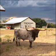 texas longhorn bull standing in front of a barn at gvrlonghorns