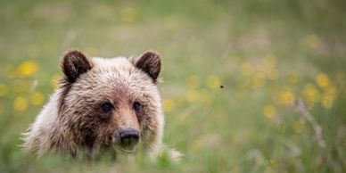 Grizzly bear, bear, wildlife, outdoors, travel, experiences