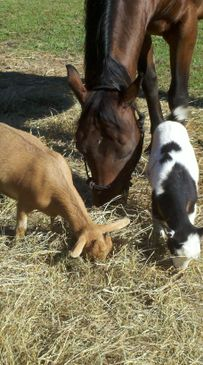 Hope our rescue Horse loves her Goats !