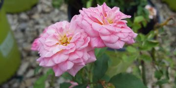 Sweet Pink Drift Rose
