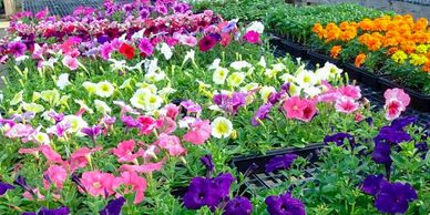 annuals plants