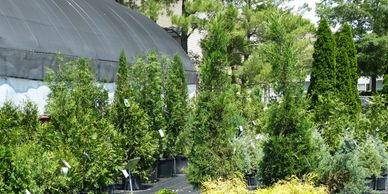 Evergreen trees, container grown evergreens