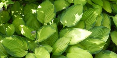 shade plants, plants that grow in shade, hostas, plants for shade, plants for shady areas