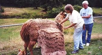 Heavy wool llama being shorn with hand shears.