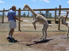 Man hosing down an alpaca . The  animal is jumping for joy.