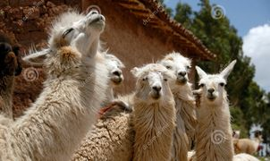 llama threatening to spit  in order to establish himself at the top of the pecking order.