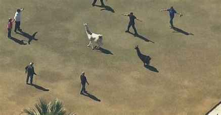 People herding llamas by moving into the llamas space but not getting too close.