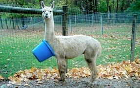Alpaca that has gotten a bucket  caught on his neck.