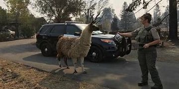 Llama being enticed to follow an officer offering food.