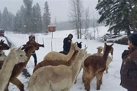 Alpacas being encouraged to return to their home.