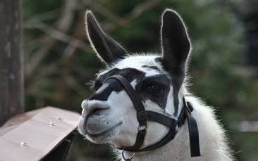Photo of correctly fitted halter on a llama.