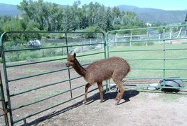 An alpaca in an enclosure using portable panels.