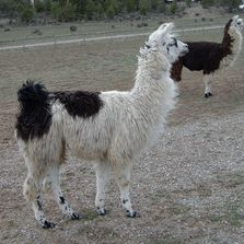 Articles and links to videos on how to actually catch llamas and alpacas.