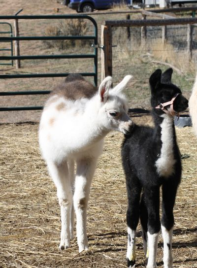 Two baby llamas; one with halter and one without.