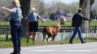 People  trying to move a llama that is running away. A man has a rope & is trying to lasso it.