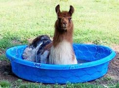 Llama siting in a kids wading pool in order to stay cool.