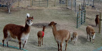 Alpacas in a group with a baby  wearing a red coat to keep it warm.
