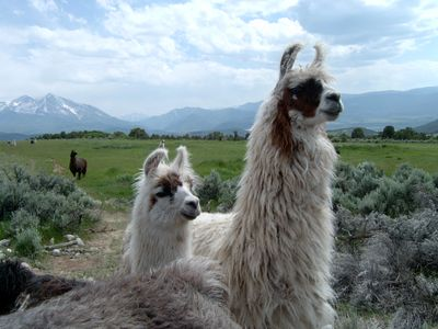 Two llamas that are loose in a pasture with other llamas.