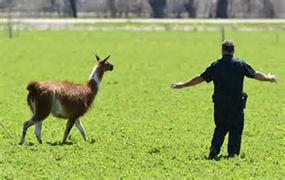 A policeman guiding a loose llama by having his arms out stretched and moving slowly.