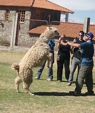 A mad, aggressive alpaca rearing up and going towards people.