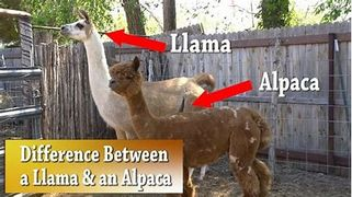 Photo showing the difference between a llama and alpaca.