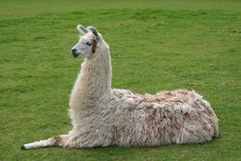 Picture of a llama setting down with one leg outstretched in front of it.