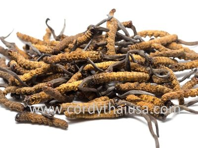 Cordyceps sinensis, the main ingredient in CORDYTHAI with Collagen