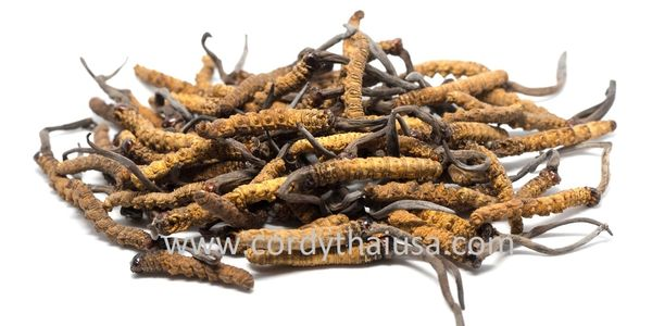 Cordyceps sinensis in Pablo natural sleep aid by Cordythai ม.เกษตร adenosine