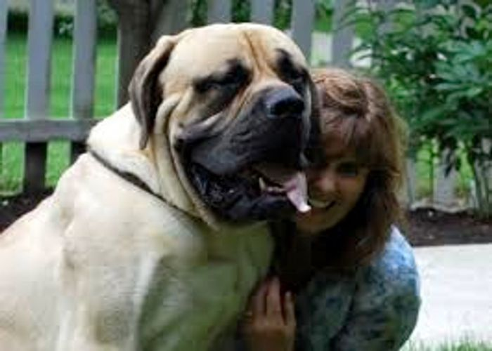 Picture of an English Mastiff dog