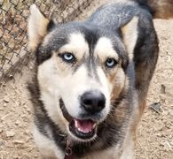 Siberian Husky available for adoption in Colorado