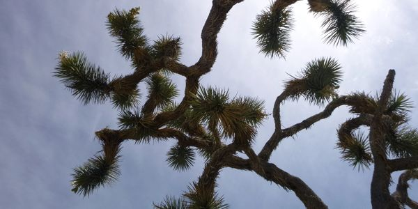 Each Joshua Tree is unique with gnarled, twisted branches that provide striking silhouettes.