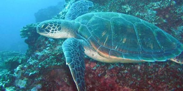 Green Sea Turtle, South Solitary Island - Photo by Jetty Dive NSW