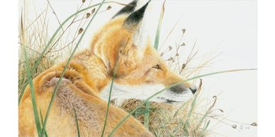 A fox in long grass looking over it's shoulder - colour pencil drawing