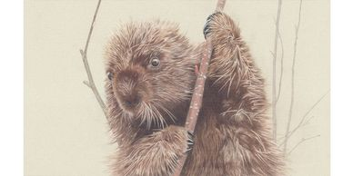 A porcupine in a tree - colour pencil drawing