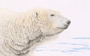 polar bear portrait - colour pencil drawing