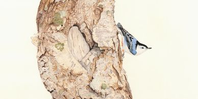 a white breasted nuthatch on an old paperbark birch tree trunk - colour pencil drawing