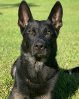 K9 Cigo was shot and killed while attempting an apprehension of 2 gang member murder suspects.