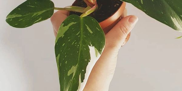 This is a picture of a Philodendron white princess held in a hand, in front of a white wall. Philodendron white princess is a rare aroid. It is prized by collectors of tropical houseplants. It has long leaves that come to a point with white and pale green variegation in splodges and splashes.