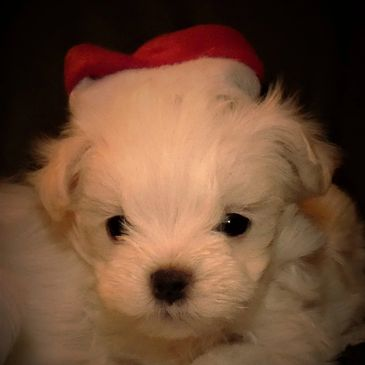 Purebred Maltese puppies raised in our home with much love and attention.