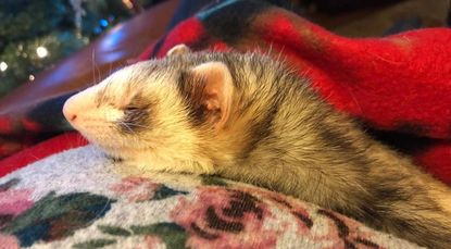 Flash the ferret.