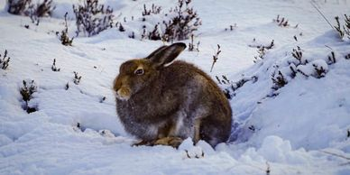 mountain hare snow photography