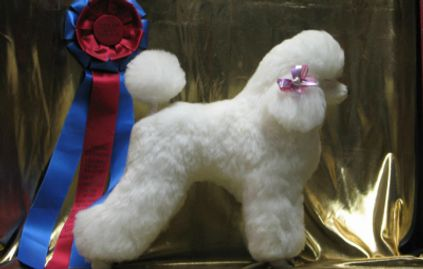 Groomed Poodle