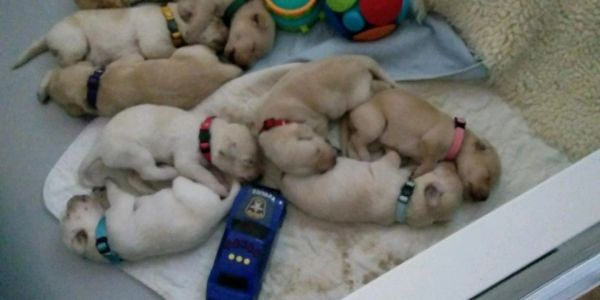 Labrador Retriever puppies for hunting, service dog and companion dogs
