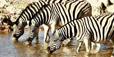 Zebras Drinking - Namibia Highlights Small Group Tour