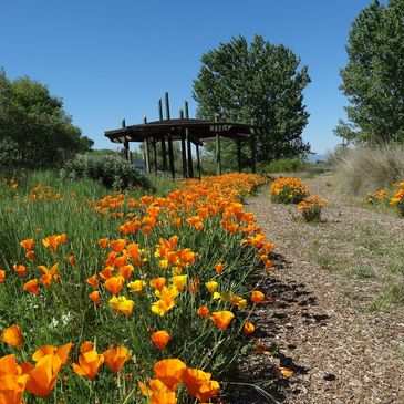 California poppies line the pathway to the Tending and Gathering Garden shade structure.